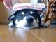 いちまーい、にまーい…… 無抵抗な柴犬の頭にハンドタオル乗せてみた