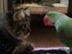 僕にかまってよ! ネコに何度も「ニャーン」と呼びかけるインコ