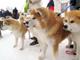 雪とモフモフの祭典 湯沢の伝統行事「犬っこまつり」でモフモフまみれになってきた