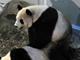 朗報:上野動物園のジャイアントパンダが交尾 動画も公開中