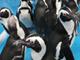 サンシャイン通りに35羽のペンギンが集結 SKE48・高柳さんと「ペンギンナビ」をアピール