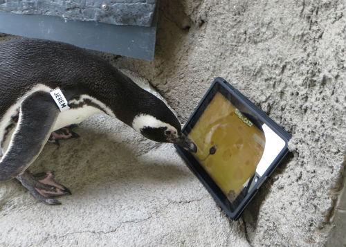 ah_penguin.jpg