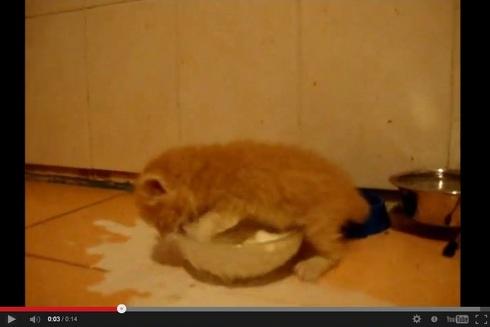 ミルクに興奮しすぎて大変なことになっちゃう子ネコ