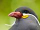 守りたい、このドヤ顔:ペルーには常時ドヤ顔の鳥がいる 「インカアジサシ」ちゃんはドヤ顔かわいい!