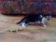 背後からのトカゲにびっくり仰天 ひっくり返ってパニックに陥る子ネコがかわいい