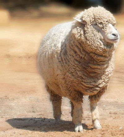ah_sheep2.jpg