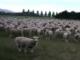 返事は全部「メェ〜」:「夏ですね」「そうですね」(想像) いいともの観客すぎる羊がじわじわくる
