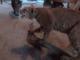 こいつ何者だ!? ヤマネコの剥製と出会ったネコたちのリアクションは……