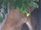 ライオンが大きなネコであることがよく分かる動画