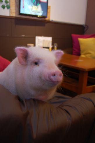 2011年6月9日_あなたは食べられる? ミニブタが店長を務めるブタ肉料理の ...