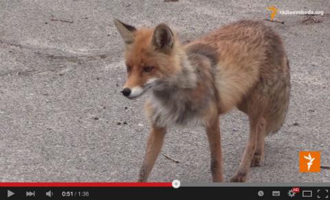 ah_fox02.jpg