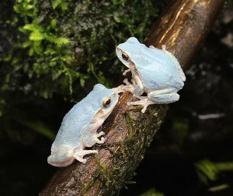 青いカエル