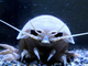 深海生物ばんざい! ダイオウグソクムシやオウムガイもいるよ 八景島シーパラダイスに「深海生物」エリア新設