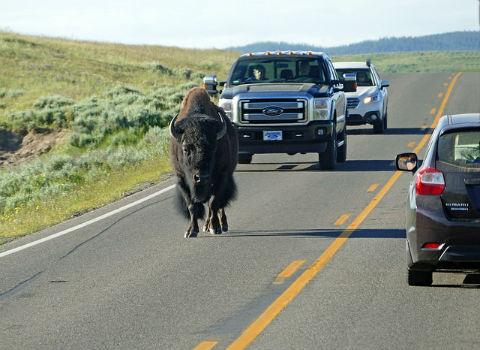 ah_bison2.jpg