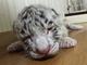 ふにゃーん 那須サファリパークに「ホワイトタイガー」の赤ちゃん誕生 8月12日より公開