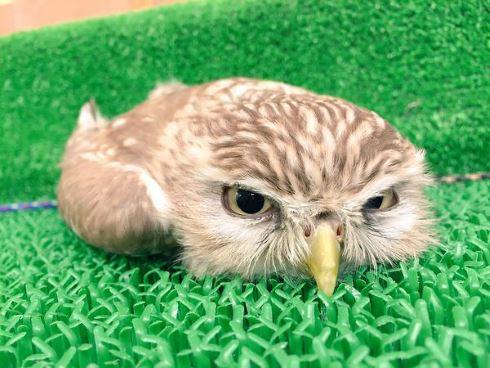 フクロウの画像 p1_10
