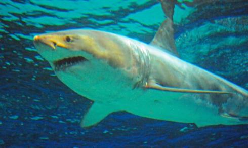 ホホジロザメ沖縄美ら海水族館