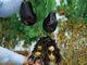 下はジャガイモ、上はナス イギリス発、一株で二度おいしい不思議野菜「茄子ジャガ」爆誕