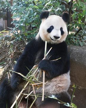 パンダの繁殖