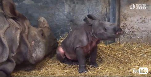 絶滅が心配されるインドサイの赤ちゃん
