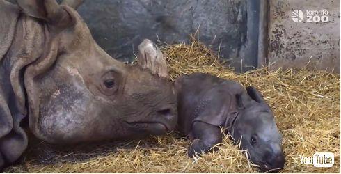 トロント動物園でインドサイが誕生