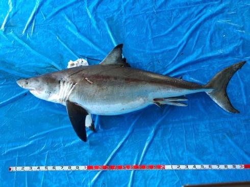 ホホジロザメの画像 p1_18