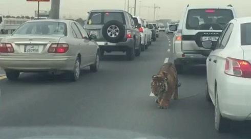 高速道路のトラ