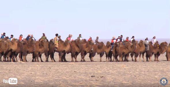 モンゴルのラクダレースでギネス記録