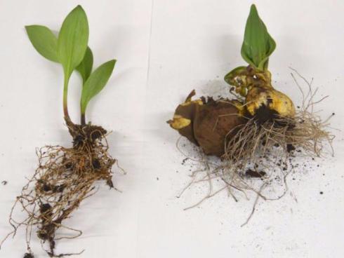 消費者庁が有毒植物の誤食を注意喚起
