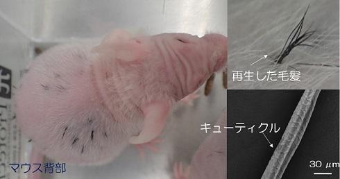 毛包移植実験成功