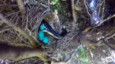 庭の鳥の巣で卵を食べるベビ