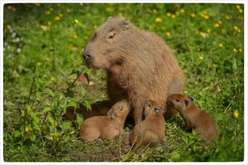 チェスター動物園カピバラの赤ちゃん