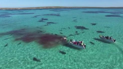 クジラを食べるサメ