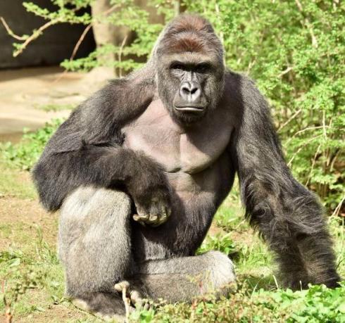 シンシナティ動物園のゴリラ射殺