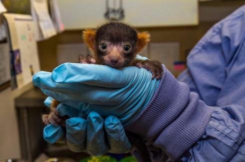 サンディエゴ動物園アカエリマキキツネザル赤ちゃん