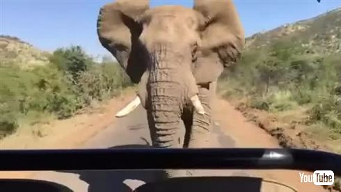 シュワちゃん、南アフリカで象に追い掛け回される