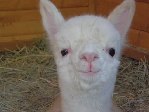盛岡市動物公園アルパカの赤ちゃん