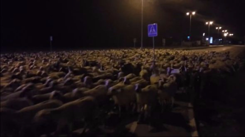 羊の大脱走