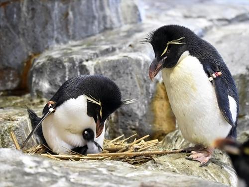 大阪・海遊館 ミナミイワトビペンギン