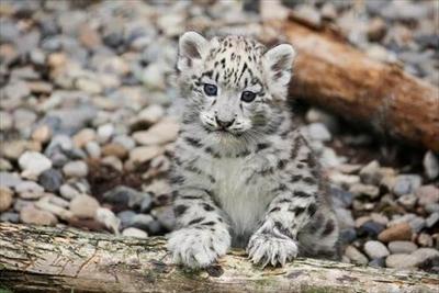 旭山動物園ユキヒョウの子ども