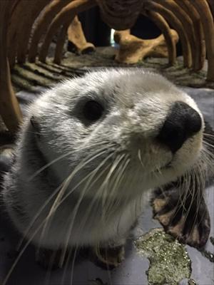 大阪・海遊館 ラッコ「パタ」の写真展