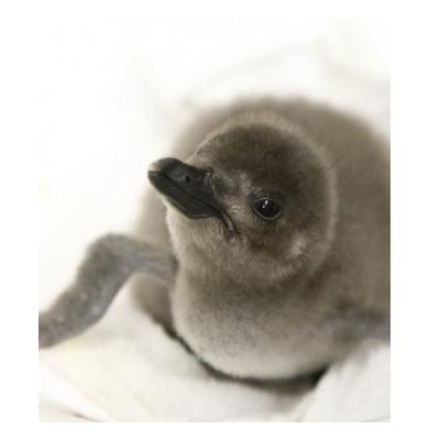 すみだ水族館 マゼランペンギン赤ちゃん