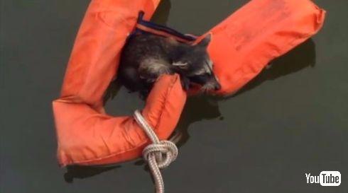 アライグマ 救助 ボート