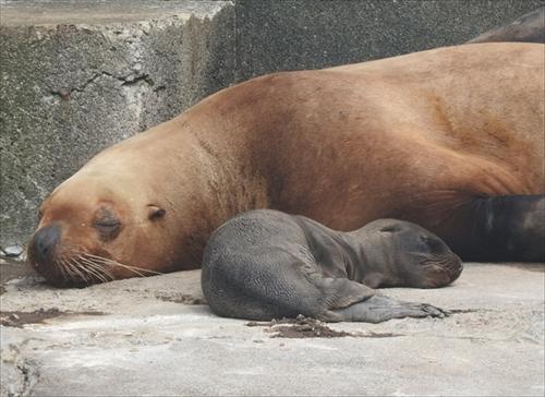 おたる水族館 トドの赤ちゃん