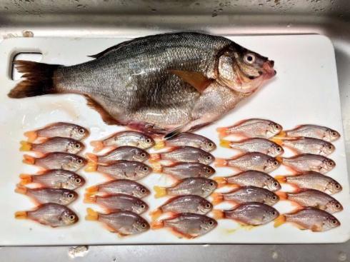 タナゴ 胎生魚