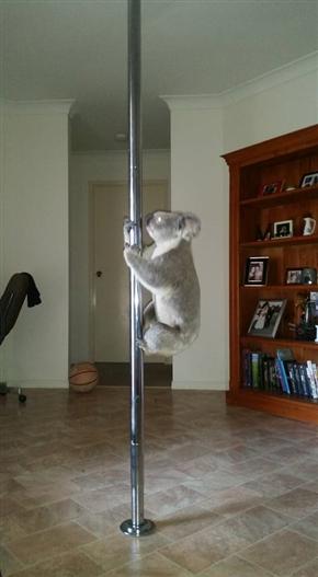 コアラがポールダンスでお出迎え