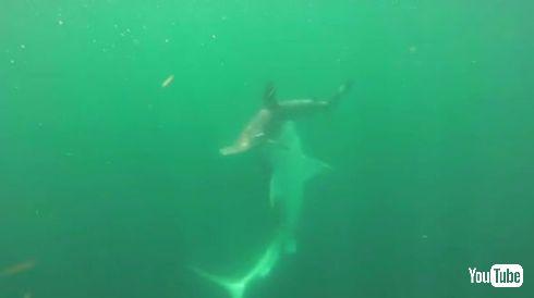 タイガーシャーク ハンマーヘッドシャーク サメ 戦い