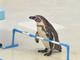 ペンギンのやる気ねぇ! 「おたる水族館」のペンギンショーがフリーダムすぎてグダグダ