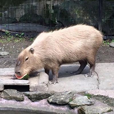 カピバラのスイカ早食い