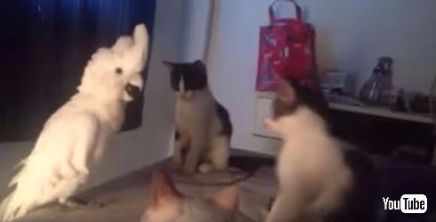 ネコの鳴き声をマスターしてしまったオウム